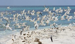 Bird life at the Abrolhos Islands
