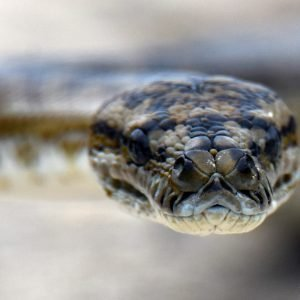 Carpet Python at the Abrolhos Islands