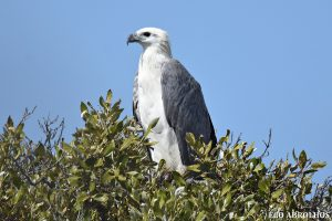 Bird of Prey watching at the Abrolhos Islands