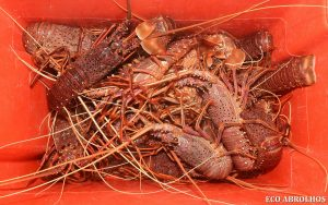 Bucket of crayfish ready for the Eco Abrolhos Guests to eat