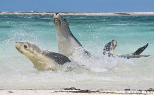 Sea Lion antics at Morley Island