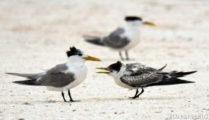 Terns at the Abrolhos Islands