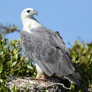 White Bellied Sea Eagle at the Abrolhos Isalnds
