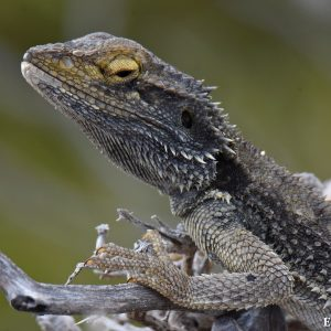 Lizard at East Wallabi Island