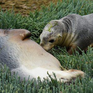Junior sea lion suckling at the Abrolhos Islands