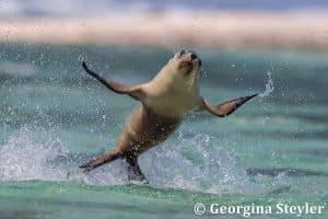 Flying Sea Lion