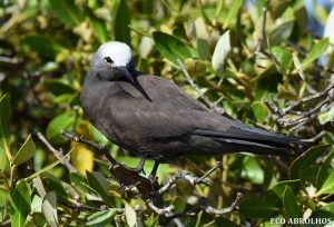 Noddy at the Abrolhos Islands
