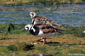 Ruddy Turnstone at the Abrolhos Islands