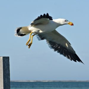 Pacific Gull at the Abrolhos Islands