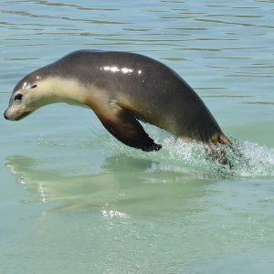 Jumping sea lions at the Abrolhos Islands