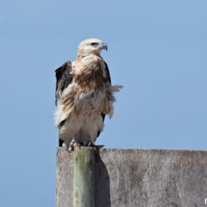 Osprey at the Abrolhos Islands