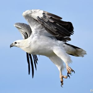 White Bellied Sea Eagle at the Abrolhos Islands