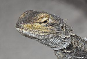 Abrolhos Dwarf Bearded Dragon