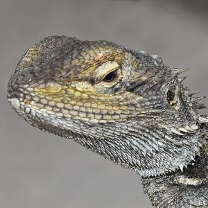 Abrolhos Dwarf Bearded Dragon
