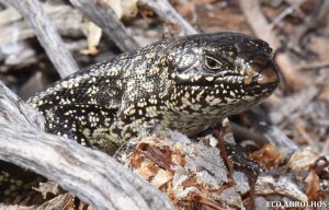 King's Skink at the Abrolhos Islands