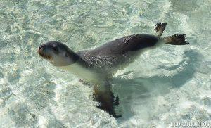 Sea lion Abrolhos Islands