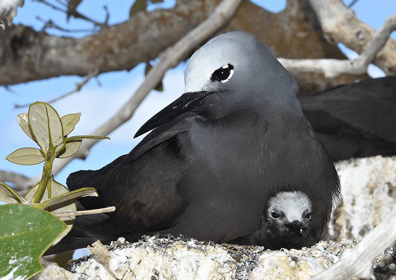 Abrolhos Island Seagull hatchling