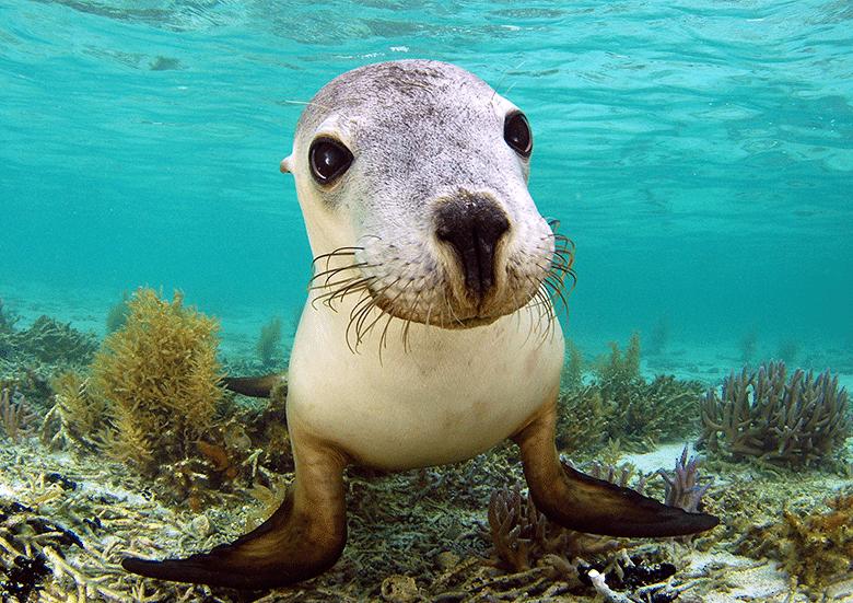 Abrolhos Island sea lion